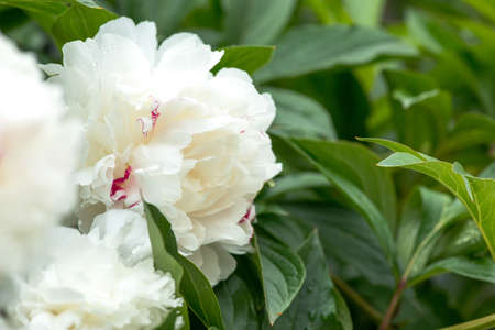 Close-up of white peonies in a spring garden - selective focus