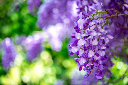 Close-up of a blooming Wisteria