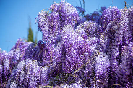 Wisteria flowers. spring nature background Stock Photo