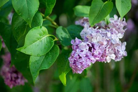 Schließen Sie oben von blühenden lila Niederlassungen im Frühjahr - selektiver Fokus, Kopienraum