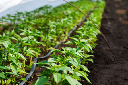 greenhouse with pepper plant and drip irrigation - selective focus 스톡 콘텐츠