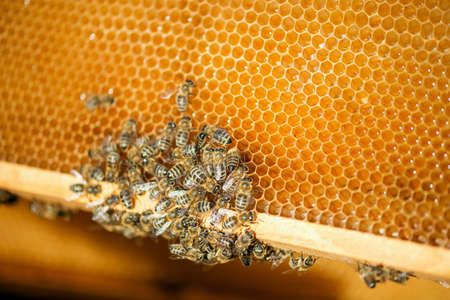 close up of bees on honeycomb in apiary - selective focus, copy space Imagens - 111224619