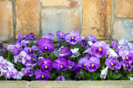 gros plan sur une fleur de pensée violette poussant dans le jardin de printemps - mise au point sélective Banque d'images
