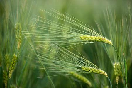 Barley grain is used for flour, barley bread, barley beer, some whiskeys, some vodkas, and animal fodder. Vertical orientation Stok Fotoğraf