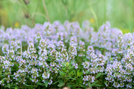 Thymus vulgaris known as Common Thyme, Garden thyme, variety with pale pink flowers - medicinal herb - selective focus Imagens