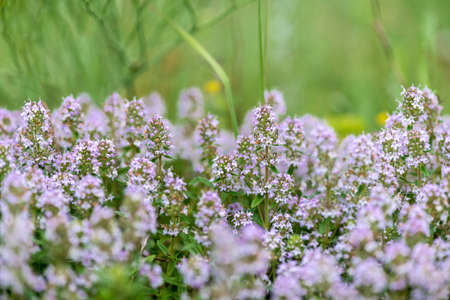 Thymus vulgaris known as Common Thyme, Garden thyme, variety with pale pink flowers - medicinal herb - selective focus Фото со стока