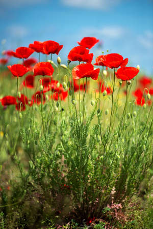 Flowers Red poppies blossom on wild field. Beautiful field red poppies with selective focus. soft light. Natural drugs. Glade of red poppies. Lonely poppy. Soft focus blur - Image. Vertical orientation