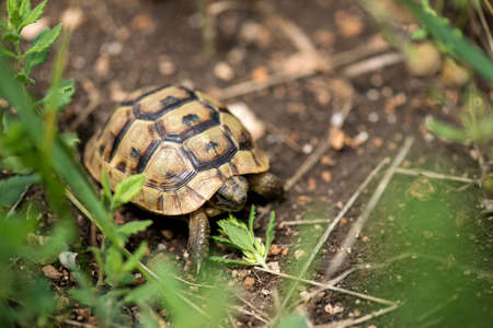 Close up of a young Greek turtle in its natural environment - macro, selective focus, space for text Stock Photo