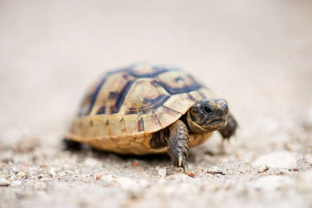 Close up of a young Greek turtle in its natural environment - macro, selective focus, space for text Фото со стока