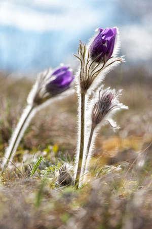 Spring flowers wild Pulsatilla pratensis - selective focus, copy space