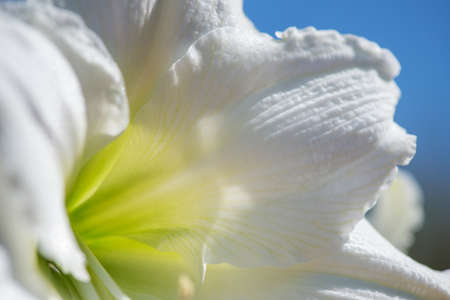 Beautiful cluster of white amaryllis blooms veined with green. Closeup macro with wonderful details and textures - selective focus