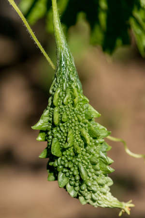Momordica charantia called bitter melon, bitter gourd or bitter squash - selective focus