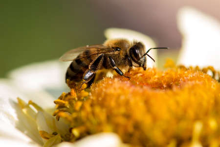 Extremely close up of a bee collecting pollen in a flowering spring garden - selective focus, space for text