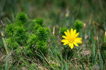 Blossom of False hellebore, Adonis vernalis medicinal herb - selective focus