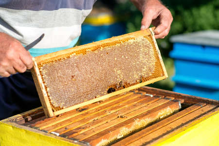 hands of beekeeper pulls out from the hive a wooden frame with honeycomb. Collect honey. Beekeeping concept - Image