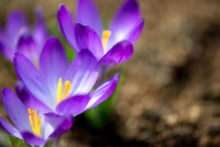 Close up of flowering purple crocus in spring garden - elective focus, copy space 写真素材