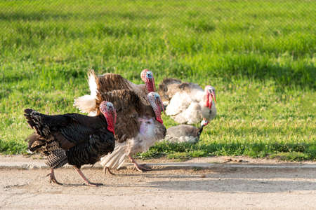 Free range domestic turkeys on meadow in mountain farmyard - selective focus