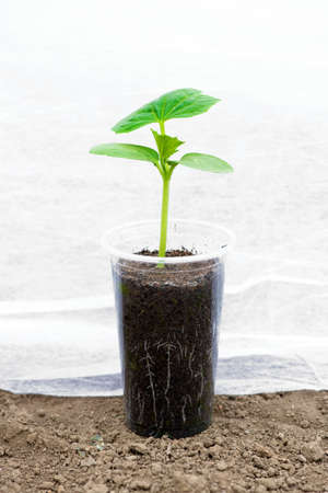 Growing in a greenhouse cucumber seedlings with visible roots in transparent pot over soil background - copy space 版權商用圖片
