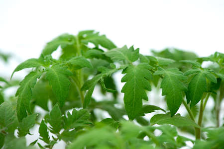 tomato seedlings growing in a greenhouse - selective focus, copy space, white background 版權商用圖片