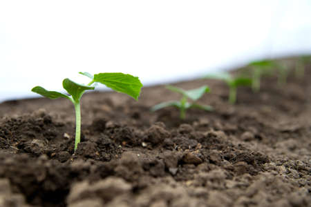 Plántulas de pepino que crecen en un invernadero - enfoque selectivo, espacio de copia, fondo blanco. Foto de archivo