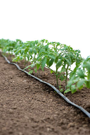 Tomato plants in a greenhouse and drip irrigation sistem - selective focus, white background 版權商用圖片