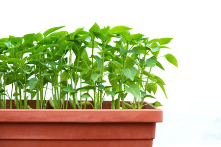pepper seedlings in a plastic pot growing in a greenhouse - selective focus, copy space, white background