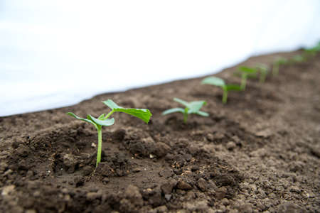 Cucumber seedlings growing in a greenhouse - selective focus, copy space, white background