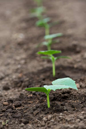 Cucumber seedlings growing in a greenhouse - selective focus, copy space, white background, vertical orientation