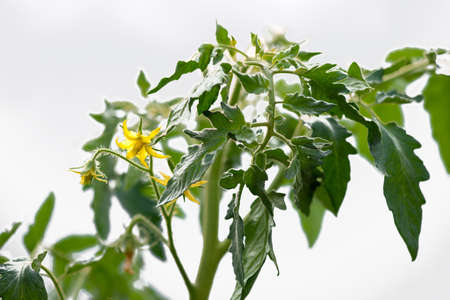 Small young yellow organic tomato blossoms  in the greenhouse - selective focus
