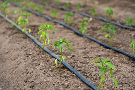 greenhouse with organic pepper plants and drip irrigation system - selective focus Stockfoto