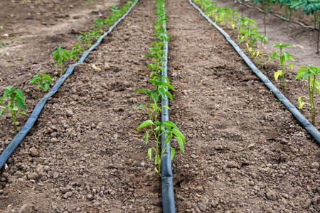 Invernadero con plantas de pimiento orgánico y sistema de riego por goteo - enfoque selectivo