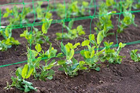 young organic pea plants in the garden creeping through a grid - selective focus