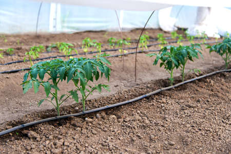 greenhouse with organic tomato plants and drip irrigation system - selective focus