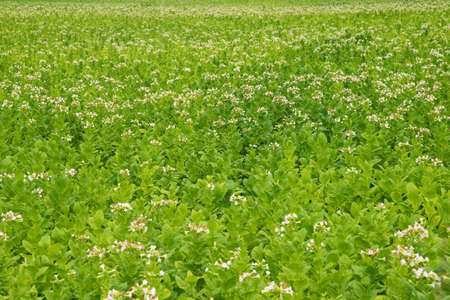 Flowering tobacco plants on tobacco field background