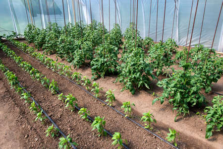 Organic tomato and pepper plants in a greenhouse and drip irrigation system - selective focus