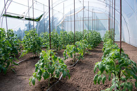 Organic tomato plants in a greenhouse and drip irrigation system - selective focus Stok Fotoğraf