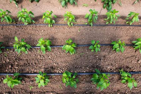 Gewächshaus mit Bio-Pfefferpflanzen und Tropfbewässerungssystem - selektiver Fokus, Ansicht von oben
