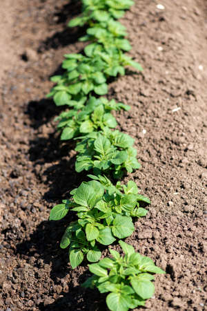 Rows of young potato plants on the field - selective focus