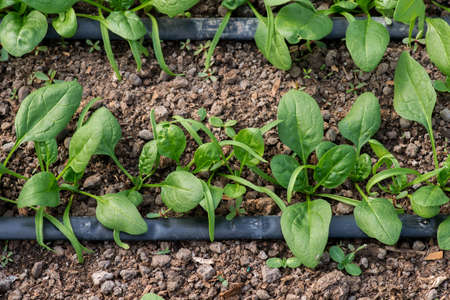 Young fresh organic spinach plants and drip irrigation system in a greenhouse - selective focus, top view