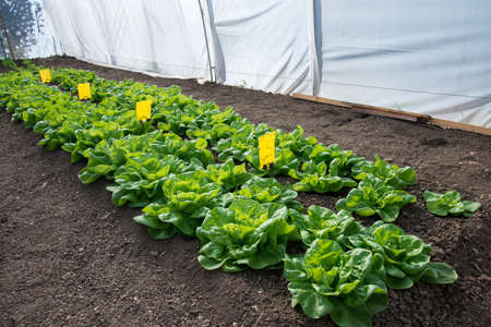 Fresh organic lettuce growing in a greenhouse - selective focus 写真素材