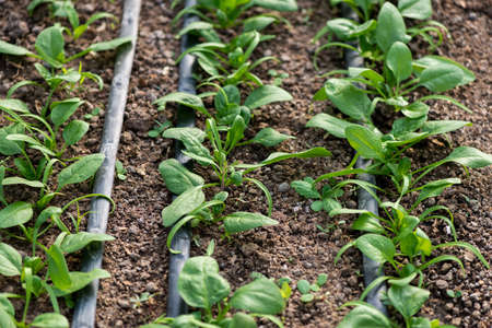 Young fresh organic spinach plants and drip irrigation system in a greenhouse - selective focus Stok Fotoğraf