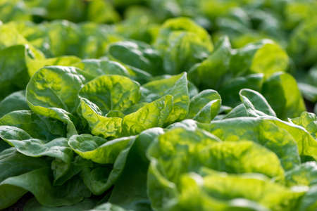 Close up of fresh organic lettuce growing in a greenhouse - selective focus