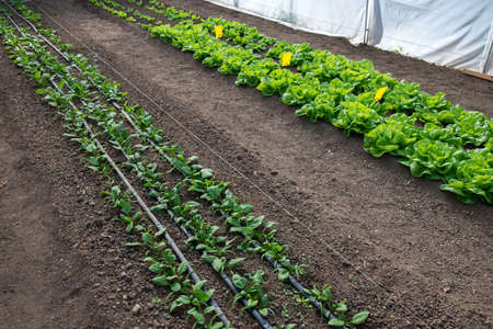 Fresh organic lettuce, spinach and onions growing in a greenhouse