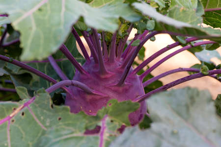 Close up of fresh organic kohlrabi in the garden - selective focus