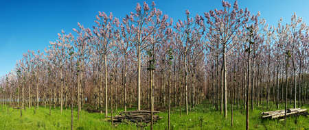 Plantation of blossoming Paulownia trees in the spring - panoramic view Reklamní fotografie