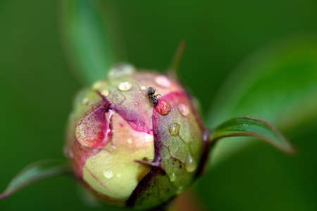 Close-up of red peony bud and an ant drinking water from the dew drop - selective focus, top view