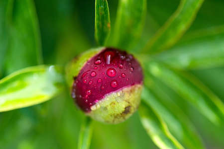 Close-up of red peony bud in a spring garden - selective focus, top view 版權商用圖片