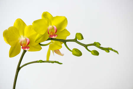 Macro photography of petals of a blooming orchid  phalaenopsis isolated on white background.  版權商用圖片