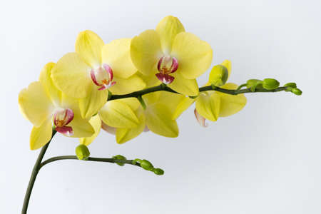 Macro photography of petals of a blooming yellow orchid phalaenopsis isolated on white background.