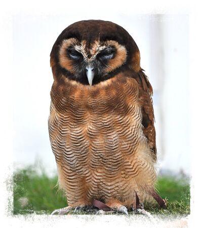 raptorial: Night bird,Owl portrait.